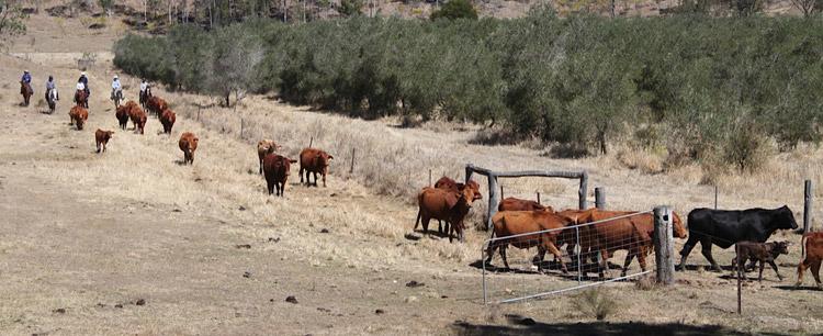 Viehtrieb im Outback